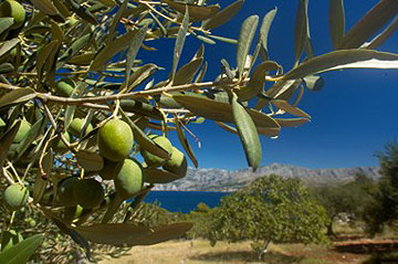 quelques mots pour l'huile d'olive